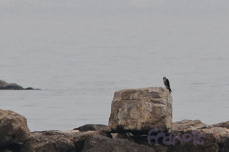 Halcón peregrino en escollera durante una jornada RAM.Peregrine Falcon on breakwater during a RAM census