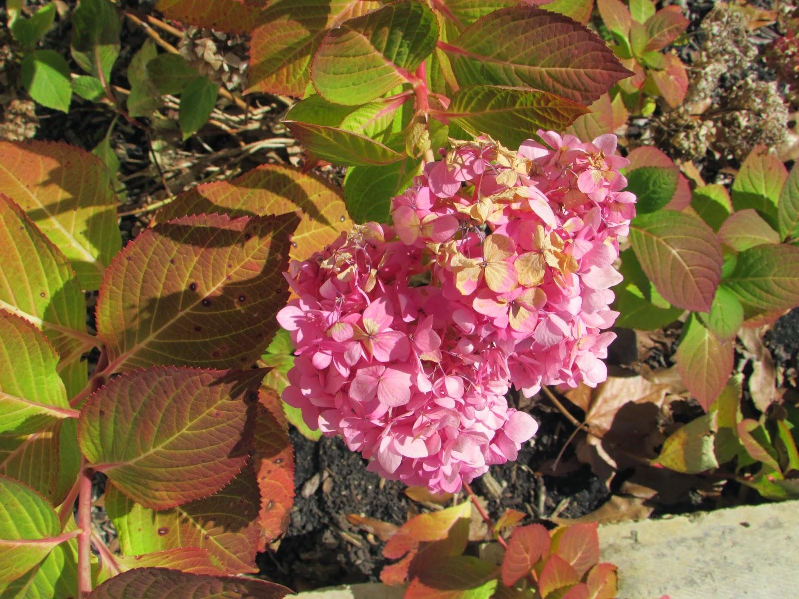 http://easttexasgardening.tamu.edu/homegardens/Shade/hydrangeas.html