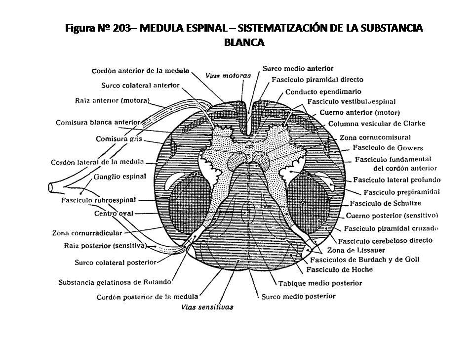 ATLAS DE ANATOMÍA HUMANA: 203. MEDULA ESPINAL, SISTEMATIZACIÓN DE LA ...