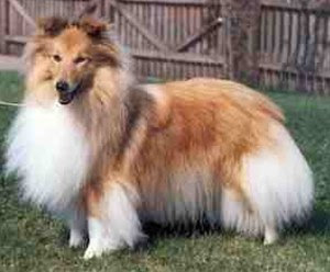 shetland sheepdog breed puppy pets hound picture