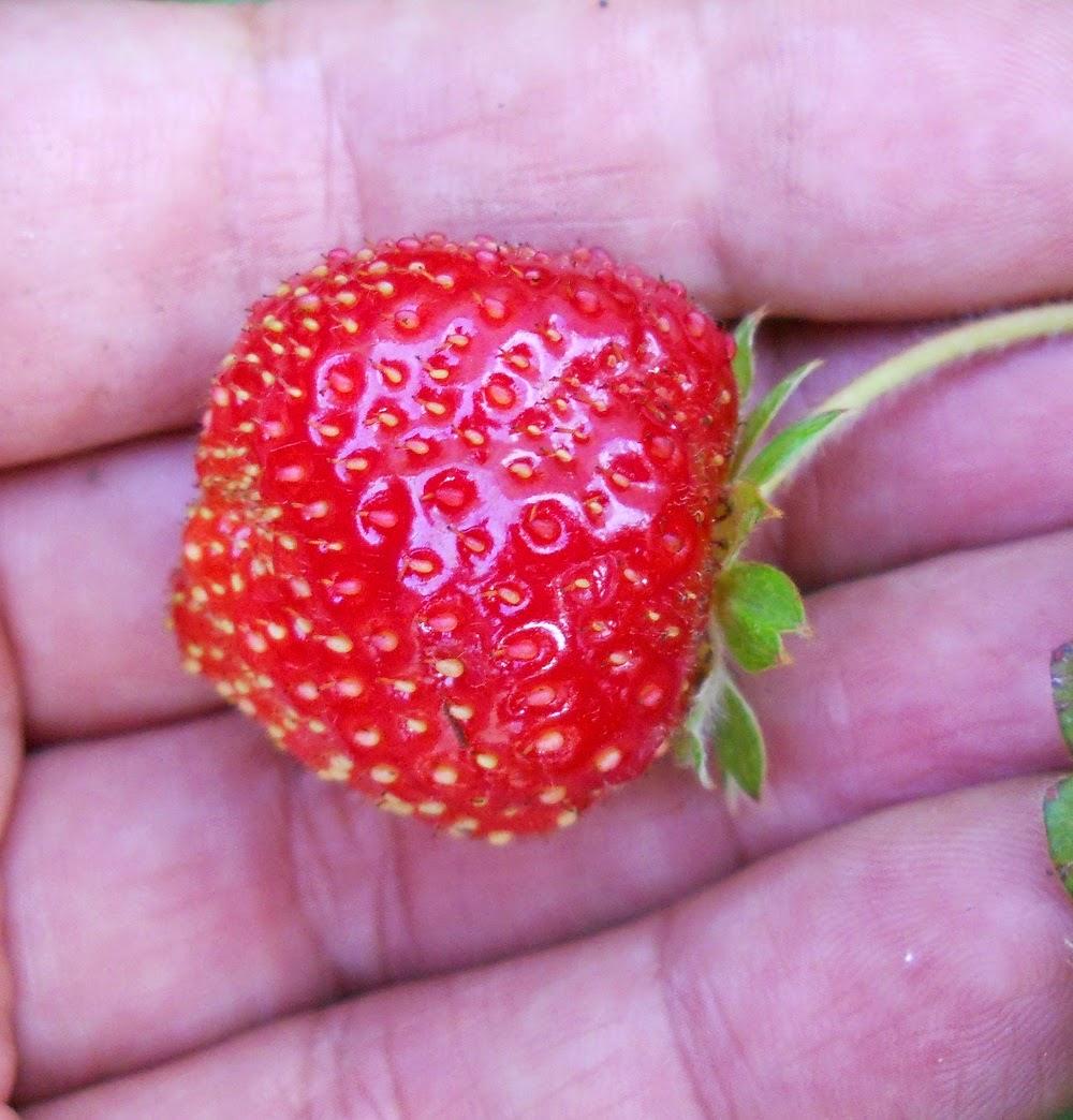 frutillo