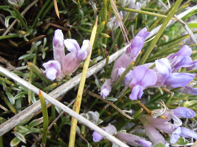 Flores del COJÍN DE MONJA: Erinacea anthyllis