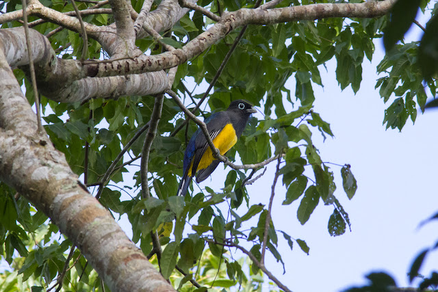 Black-headed Trogon spotted in tree in Mexico