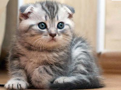 gambar anakan kucing scottish fold