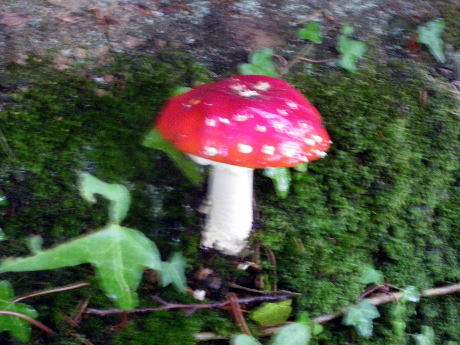 Le blog de pierre randonn e du lundi 08 octobre 2012 - Les champignons de jardin sont ils comestibles ...