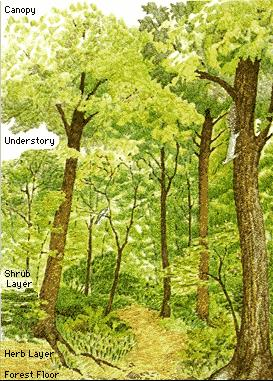 The canopy consists mainly of the crowns (branches and leaves) of the tallest trees. The most common trees in the canopy are called the dominant trees of ...  sc 1 st  forestry - learning & FORESTRY - LEARNING: The Structure of Forests