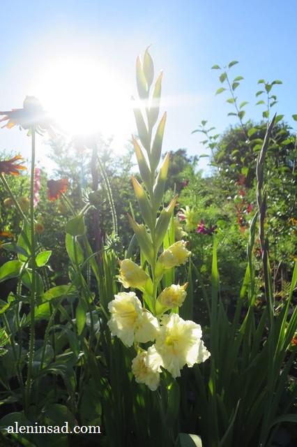 желтый, гладиолусы, аленин сад, цветение детки, клубнепочек