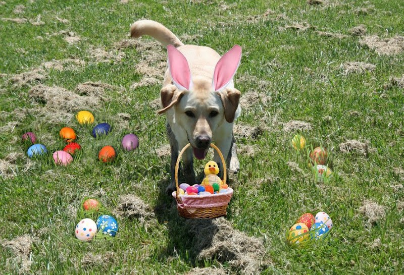 cabana with pink ears on grassy field with fake easter basket hanging from her open mouth