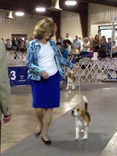 Dog Show Beagles Florida