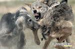 Os Lobos Não Chorão