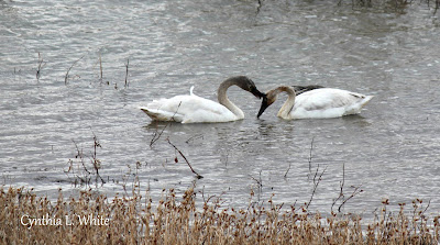 'The Kiss' - Tundra Swan - Wed. Wings