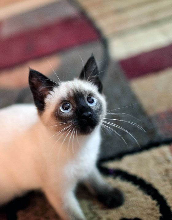 Top 10 Cutest Cat Breeds Pictures