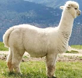 Alpaca de perfil