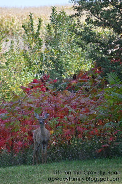 young deer standing in front of fall colors