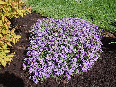 We think that this purple mound is phlox, but whatever it is, it's beautiful.