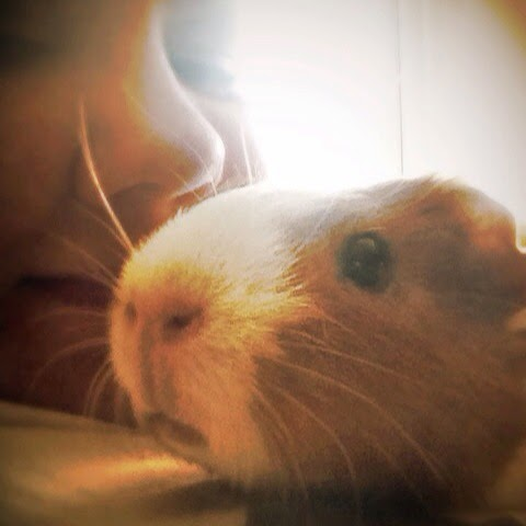 Fancy the guinea pig and her mama