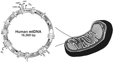 Aplicação do DNA mitocondrial em estudos de genética molecular