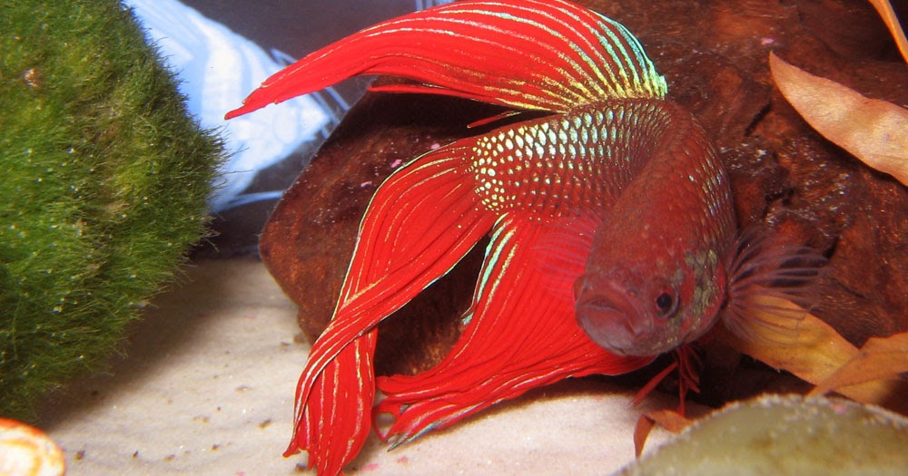 Life under the blue water siamese fighting fish for Lifespan of a betta fish in captivity