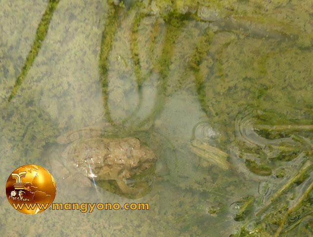 FOTO : Anak katak atau cucu katak yang masih kecil untuk umpan ngurek belut