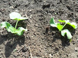 10 июня, при первом прореживании оставляю по два растения в лунке