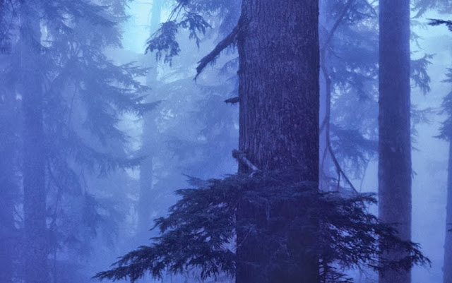 Canadian Hemlock in the Great Smoky Mountains National Park