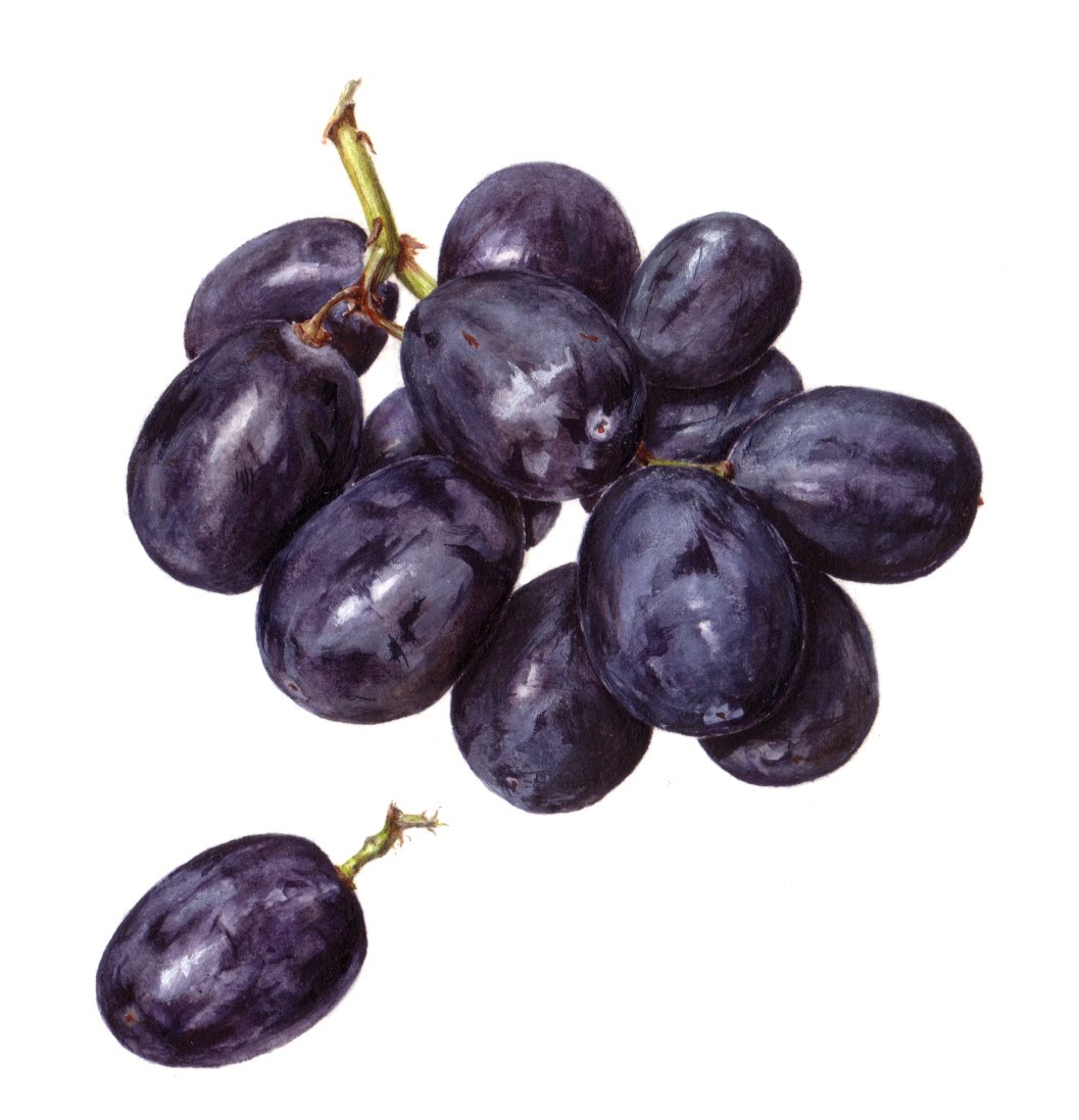 I Never Painted Grapes Before Neither Did Draw Them With Pencils Knew Could Do In Coloured Pencil They Are Much Like Blueberries