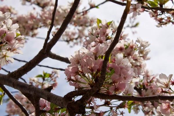 Washington Monument, DC, cherry blossoms, 2014 Cherry Blossom Festival
