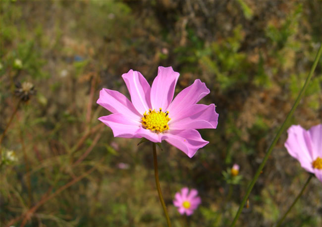 Cosmos Flowers Pictures