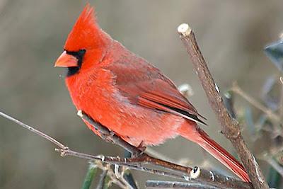 Cardinal bird red