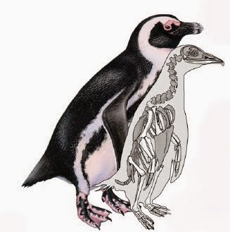 http://sciencythoughts.blogspot.co.uk/2012/01/penguins-of-africa.html
