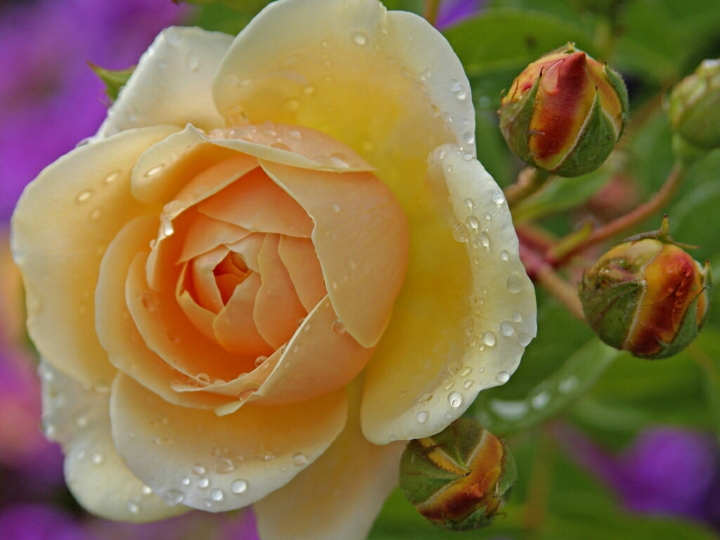 flowers for flower lovers.: Beautiful Rose flowers wallpapers .