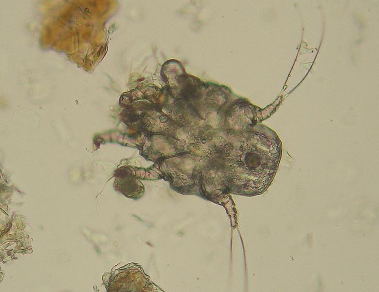 Follow the Piper: EAR MITES! Ear Mites In Cats