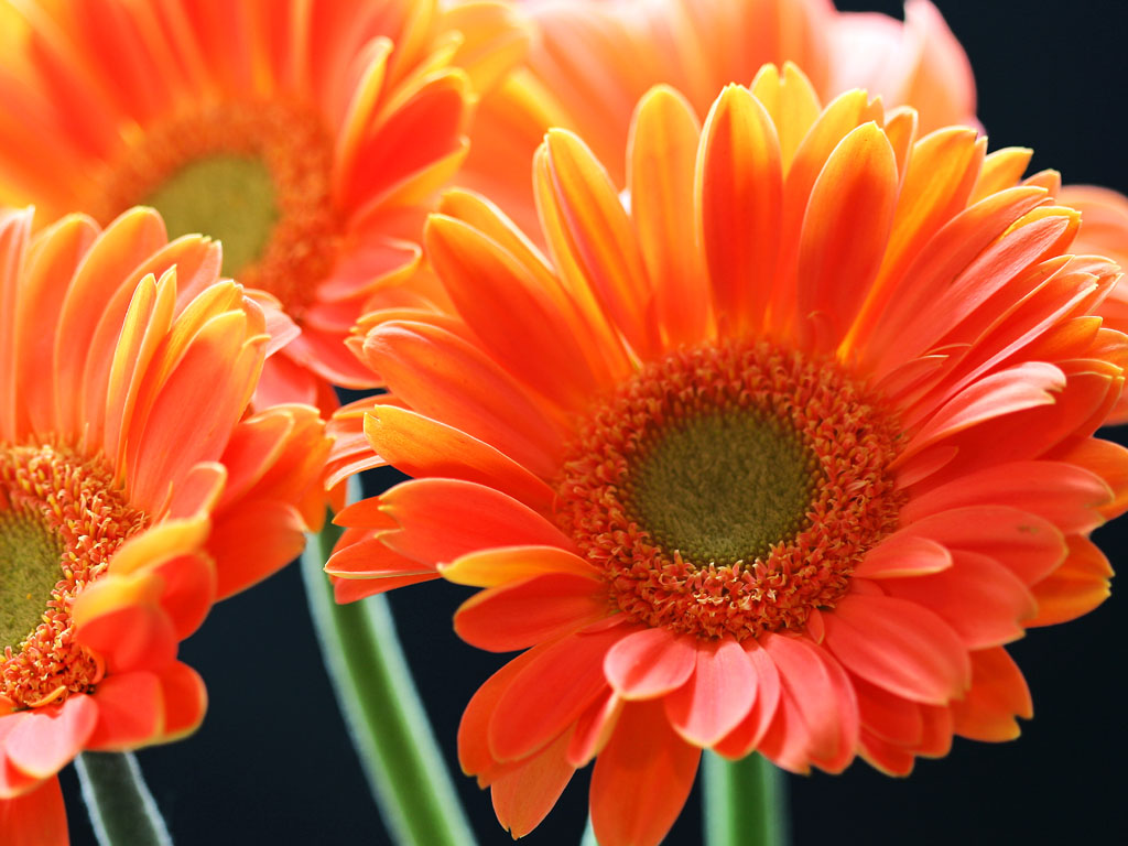 wallpaper orange gerbera daisy flowers wallpapers. Black Bedroom Furniture Sets. Home Design Ideas