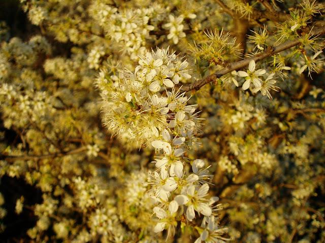 ENDRINO: Prunus spinosa