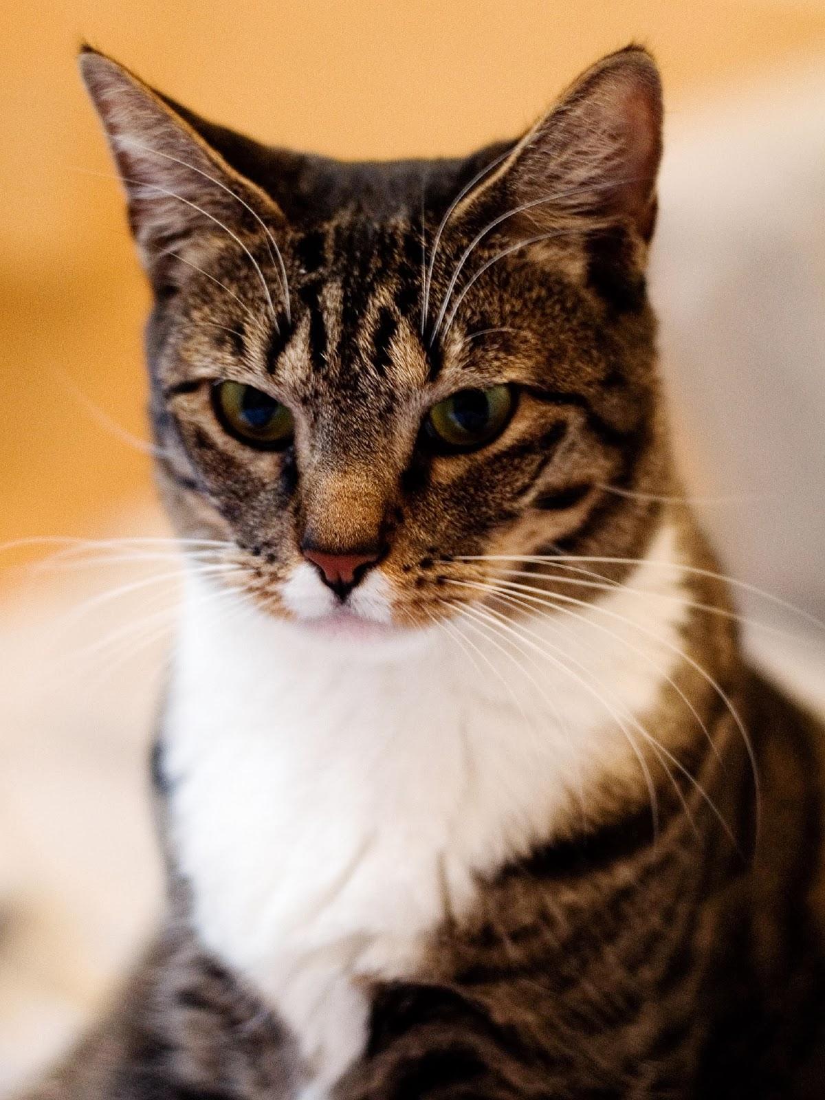 İngiliz kedisinin (gövde) çiftleşmesi
