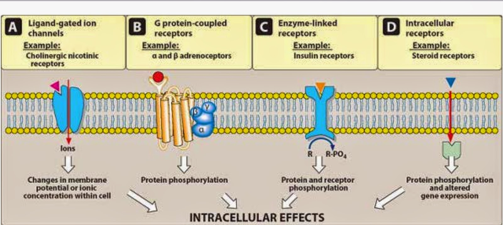 pharmacodynamics drug receptors Pharmacokinetics and pharmacodynamics - the basics  2  (eg hormones, neurotransmitters or drugs) via receptors •receptors are proteins on/in a cell wall.