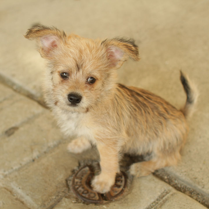 Yorkshire Terrier Mix Yorkie Jack Russell Mi...