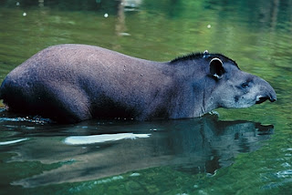 Tapir Brazilian Wallpapers in the north to Brazil