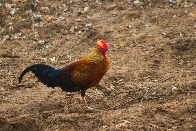 A photograph of a Ceylon Jungle Fowl taken in Yala, Sri Lanka