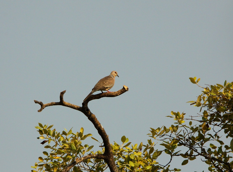 Spotted dove flying - photo#18