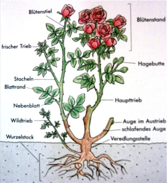 Wann soll man rosen schneiden