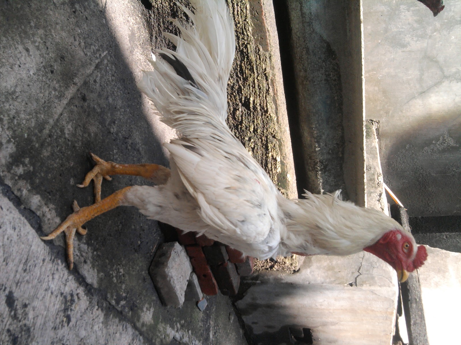 Cara Mengurangi Berat Badan Ayam Bangkok