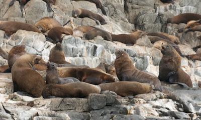 Australian Fur Seal (Arctocephalus pusillus)