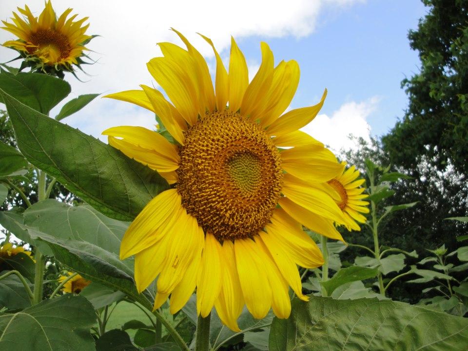 minecraft how to grow sunflowers
