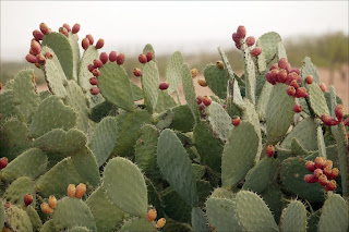 Nopal cactus extract is also rich in fiber quality.