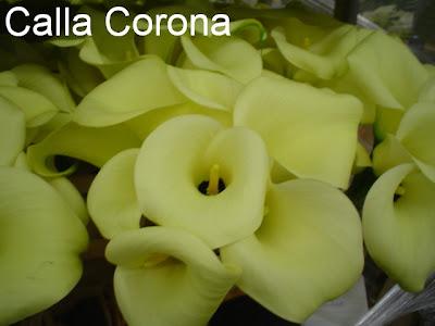 Calla Corona image