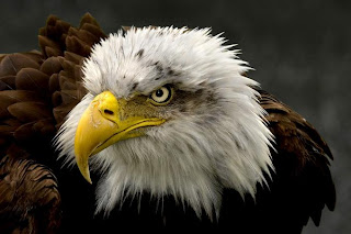 eagle face wilad animal bird picture species aves carnivorous wallpaper