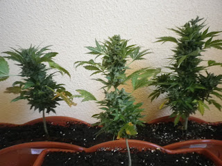 Fast Bud, Speed Devil, Speed Bud, Sweet Seeds, marihuana automatica, autofloreciente, cannabis