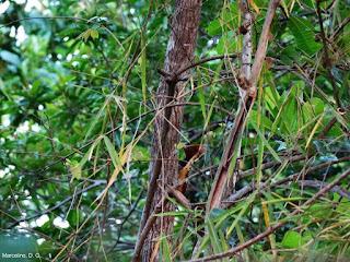 aves, aves do brasil, foto, fotografia, fotografia de natureza, fotografias, natureza, pássaros, passaros, bird, birds, beautiful, nature, cerrado, Tocantins, Brasil, camera nikon, camera canon, camera sony, câmera sony, câmera canon, câmera nikon, fotos, pica pau, Kaempfer's Woodpecker, Woodpecker, extinção, espécie em extinção, picapau, picidae