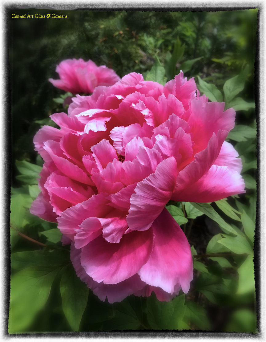 Peony Red Magic is the best choice for your garden